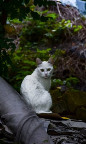 white cat in the forrest. Cat is an example of a species that might be provided an examination, treatment, surgery (i.e. spay, neuter), medicine or a vaccine in small companion animal practice. A veterinarian (DVM), veterinary diplomate or surgeon (MRCVS), credentialed veterinary technician, technologist or nurse (CVT, LVT, RVT, RVN, DVN, AVN), veterinary assistant or kennel attendant might work with a cat if they are a candidate seeking to be hired to staff a full-time job, part-time work or locum, relief, casual or per diem employment at a small animal primary practice, specialty referral hospital or emergency or OOH vet clinic.