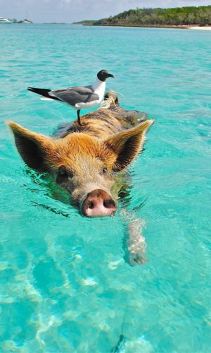 Pig swimming in Staniel Cay with a seagull on its' head. A pig is an example of a species that might be provided an examination, treatment, surgery or medicine in mixed or large animal practice. A veterinarian (DVM), veterinary diplomate or surgeon (MRCVS), credentialed veterinary technician, technologist or nurse (CVT, LVT, RVT, RVN, DVN, AVN), veterinary assistant or livestock attendant or barn hand might work with a pig if they are a candidate seeking to be hired to staff a full-time job, part-time work or locum, relief, casual or per diem employment at a farm animal or mixed animal primary practice, specialty referral hospital or on call OOH veterinary clinic.